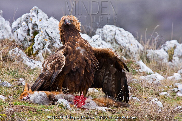 Golden eagle (Aquila chrysaetos) scavenging on red fox (Vulpes vulpes) carcass. Central Apennines, Abruzzo, Italy, January.