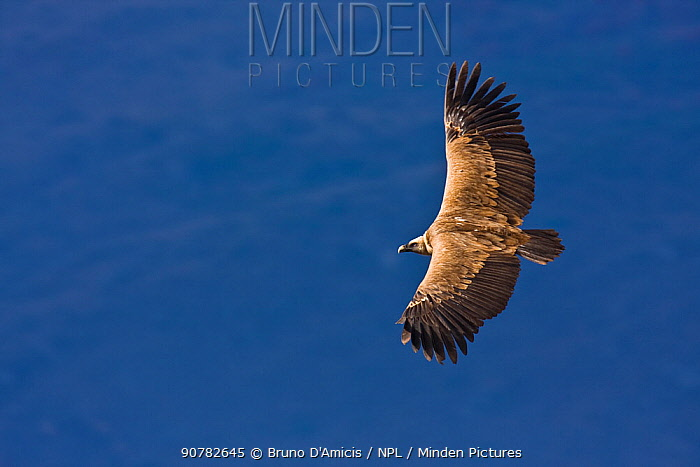 Griffon vulture (Gyps fulvus) adult soaring, with distant mountains behind. Central Apennines, Abruzzo, Italy, February.