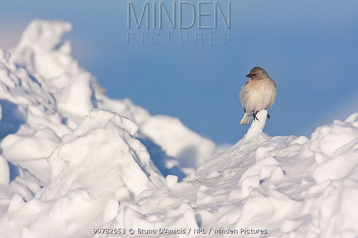 White-winged snowfinch (Montifringilla nivalis) perched on snow. Central Apennines, Abruzzo, Italy, March.