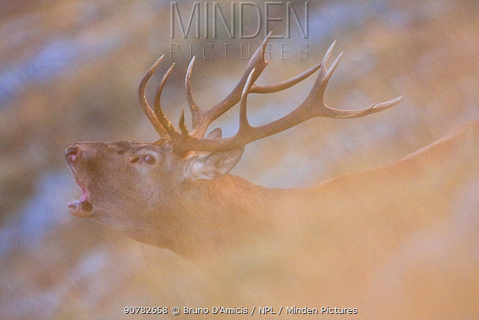 Red deer (Cervus elaphus) stag bellowing during the rut. Central Apennines, Abruzzo, Italy, September.