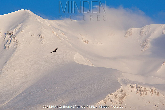 Griffon vulture (Gyps fulvus) soaring above snowy peak of Mount Velino. Abruzzo, Central Apennines, Italy, March.