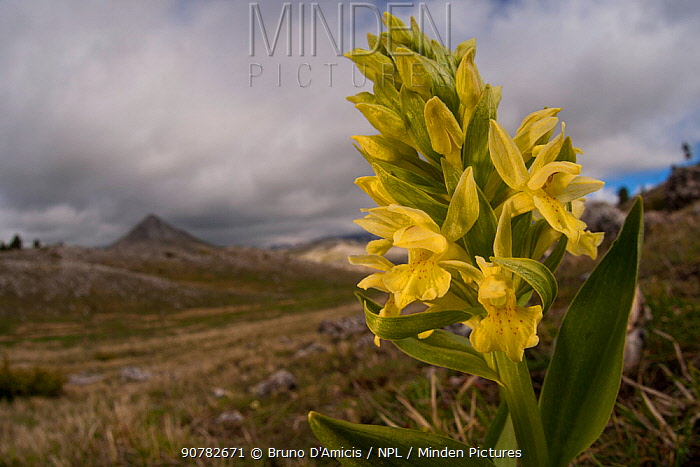 Elder-flowered orchid (Dactylorhiza sambucina), yellow morph. Abruzzo, Central Apennines, Italy, May.