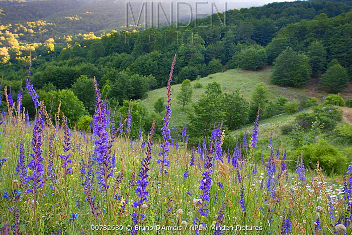 Purple toadflax (Linaria purpurea), daisies and other wildflowers in a forest meadow. Abruzzo, Central Apennines, Italy, June.
