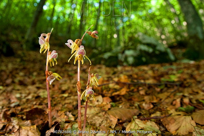 Ghost orchids (Epipogium aphyllum) growing on forest floor. Abruzzo, Central Apennines, Italy, July.
