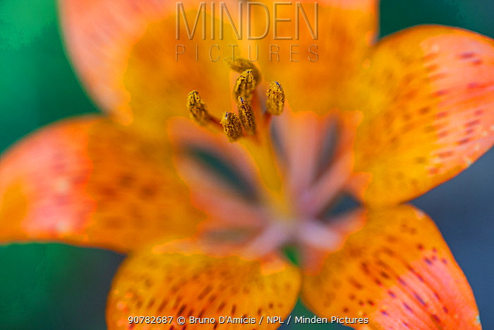 Orange lily (Lilium bulbiferum) flower close-up. Abruzzo, Central Apennines, Italy, July.