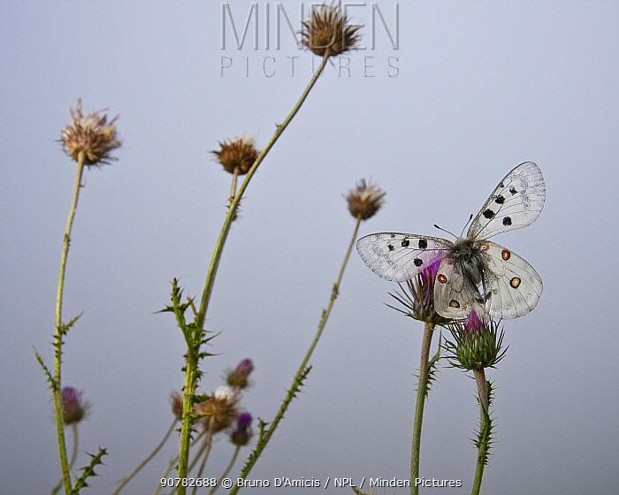 Apollo butterfly (Parnassius apollo) on mountain thistle. Abruzzo, Central Apennines, Italy, Summer.