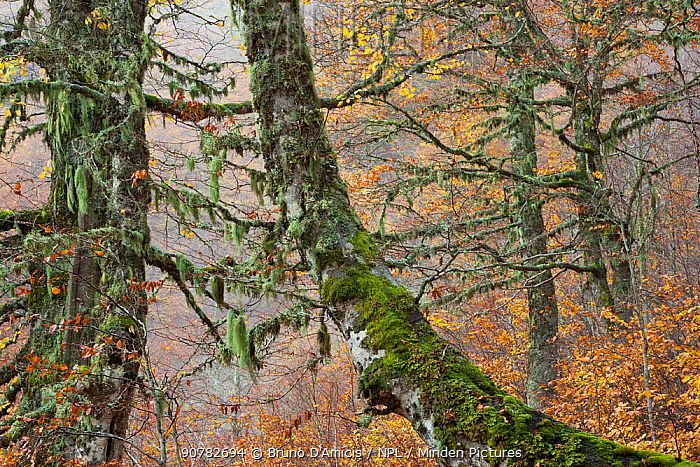 Beech (Fagus sylvatica) forest showing autumnal colours in the Abruzzo National Park, Italy, October.