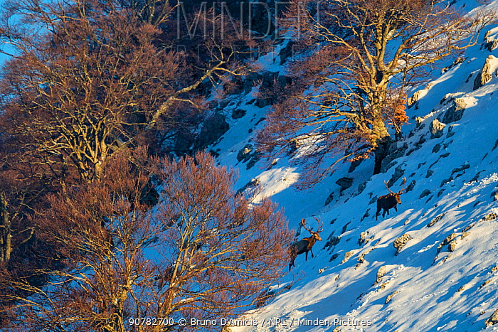 Red deer (Cervus elaphus) stags climbing snowy slope among centuries-old beech trees. Central Apennines, Abruzzo, Italy, February.