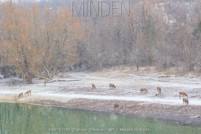 Red deer (Cervus elaphus) grazing beside lake in the snow. Central Apennines, Abruzzo, Italy, February.