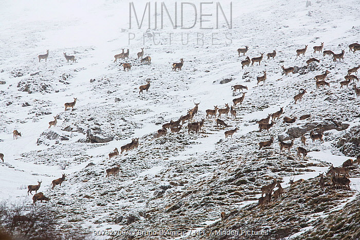 Large herd of Red deer (Cervus elaphus) on hillside. Central Apennines, Abruzzo, Italy.