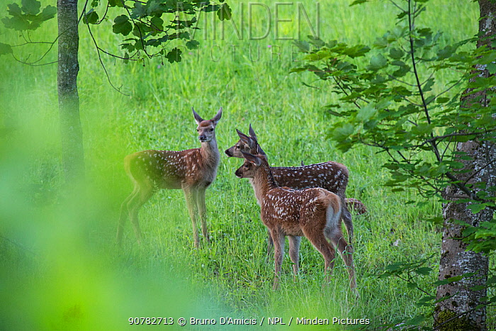 Three Red deer (Cervus elaphus) fawns. Central Apennines, Abruzzo, Italy.