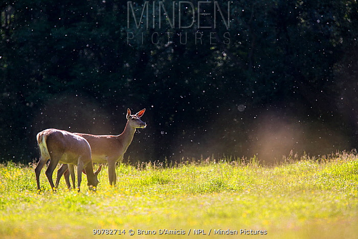 Red deer (Cervus elaphus) hinds grazing in field with willow pollen in the air. Central Apennines, Abruzzo, Italy.