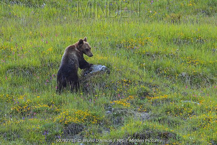 Apennine / Marsican brown bear (Ursus arctos marsicanus), endemic subspecies, Critically Endangered. Central Apennines, Abruzzo, Italy.