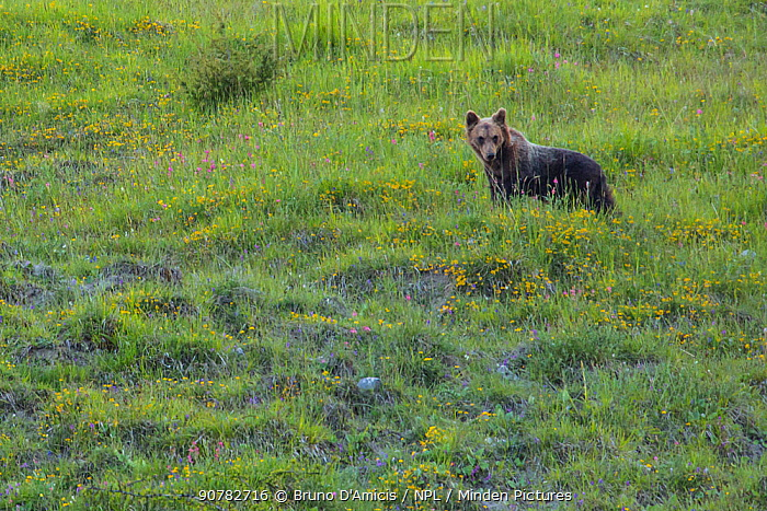 Apennine / Marsican brown bear (Ursus arctos marsicanus) in meadow, endemic subspecies, Critically Endangered. Central Apennines, Abruzzo, Italy, September.
