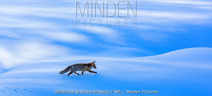 Red fox (Vulpes vulpes) walking through snow. Central Apennines, Molise, Italy, February.