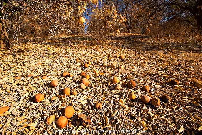 Abandoned dead and dying Orange trees that no longer have water to irrigate them near Bakersfield, during the 2012-2017 California Drought, California, USA. October 2014.