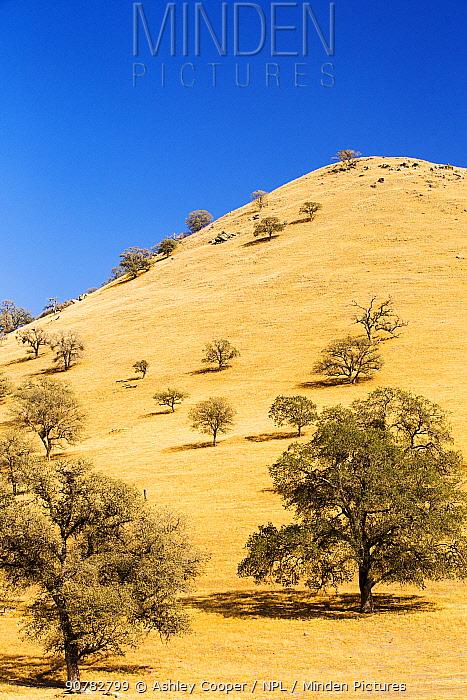 Drought killed trees near Tehachapi Pass, during California's four year long drought, USA. September 2014.