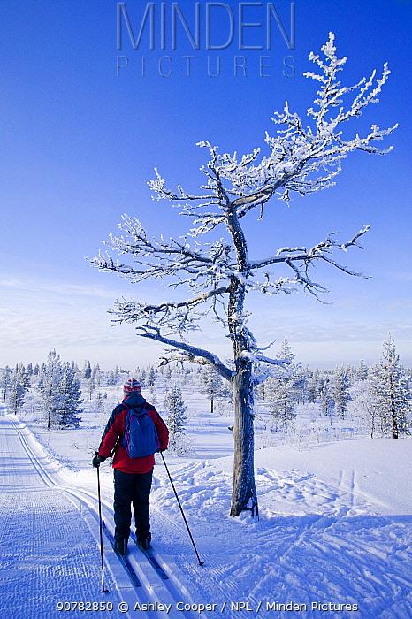 Woman cross country skiing near Saarisleka, Northern Finland, February 2008.