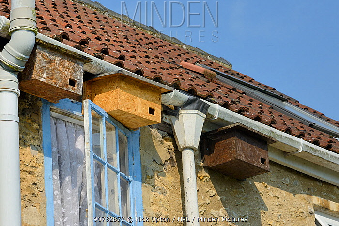 Swift nest boxes atached to the eaves of a cottage, Hilperton, Wiltshire, UK, June.