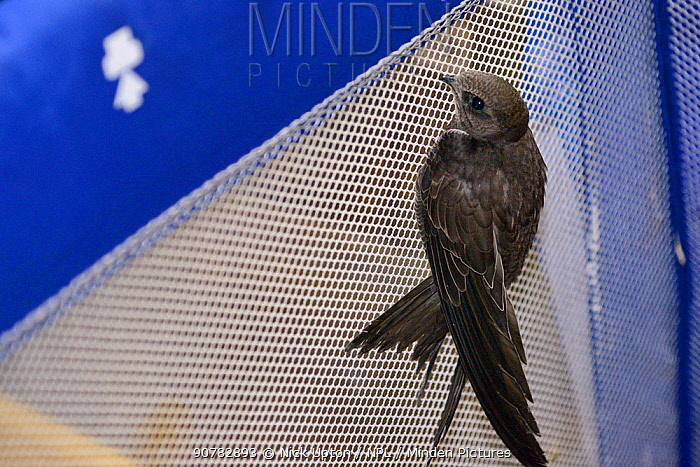 Common swift chick (Apus apus) reared to full size by Judith Wakelam, climbing up the side of a child's play pen and almost ready to be released, Worlington, Suffolk, UK, July.