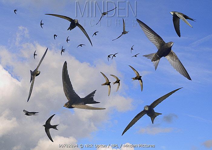 Common swifts (Apus apus) flying overhead, Wiltshire, UK, June.  Digital composite image.