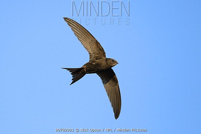 Common swift (Apus apus) flying overhead, Lacock, Wiltshire, UK, May.