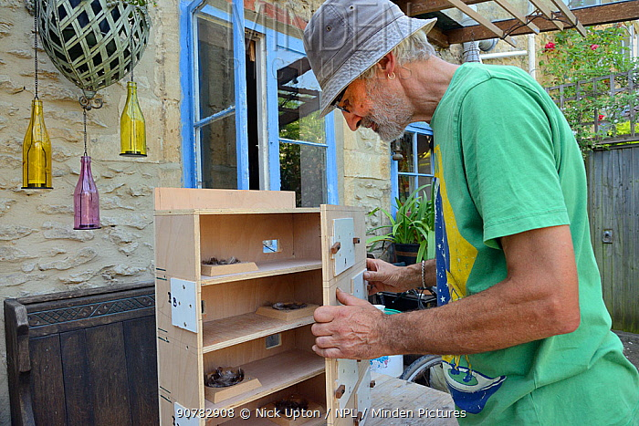 Roger Beckett building a nestbox for Common swifts (Apus apus) with nest cups, access ports for nest inspection and CCTV cameras, to be fitted in a church tower, Hilperton, Wiltshire, UK, June. Model released.