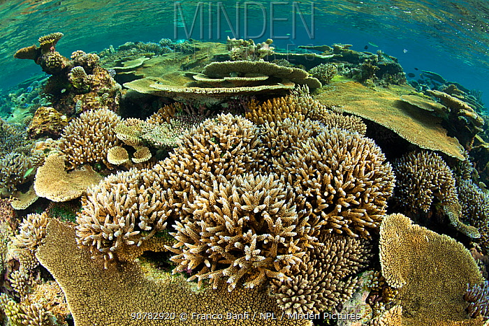 Reef covered with various (Acropora) hard corals including Table top coral (Acropora hyacinthus) as well as (Acropora robusta), Maldives, Indian Ocean