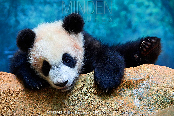 Playful giant Panda cub (Ailuropoda melanoleuca) investigating its enclosure, climbing over a rock.Yuan Meng, first Giant panda ever born in France, now aged 8 months, Beauval Zoo, France