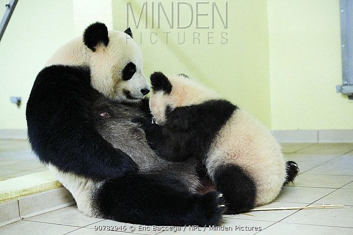 Giant panda cub Yuan Meng suckling its mother Huan Huan (Ailuropoda melanoleuca). Yuan Meng, first Giant panda ever born in France, now aged 8 months, Beauval Zoo, France