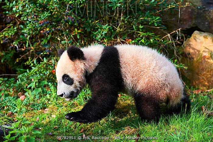 Giant panda cub (Ailuropoda melanoleuca) investigating its enclosure, captive. Yuan Meng, first Giant panda ever born in France, now aged 8 months, Beauval Zoo, France