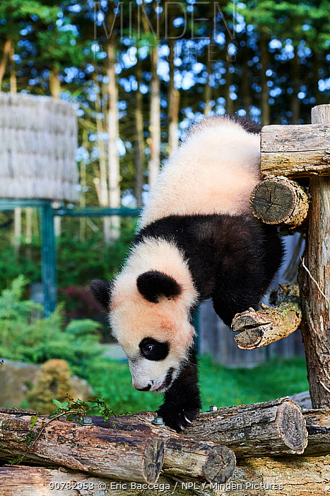 Giant panda cub (Ailuropoda melanoleuca) investigating its enclosure. Yuan Meng, first Giant panda ever born in France, now aged 8 months, Beauval Zoo, France