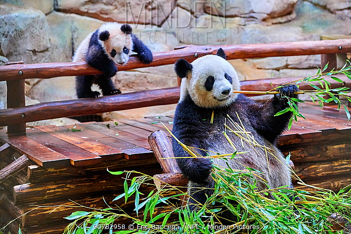 Giant panda (Ailuropoda melanoleuca) female Huan Huan feeding on bamboo with her playful cub in the background Yuan Meng, first Giant panda even born in France, now aged 8 months, Beauval Zoo, France