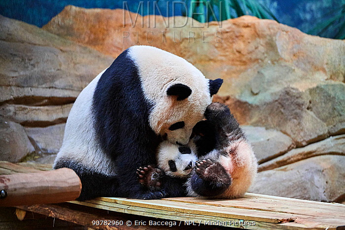 Giant panda female Huan Huan playing with her cub (Ailuropoda melanoleuca). Yuan Meng, first Giant panda ever born in France, now aged 8 months, Beauval Zoo, France
