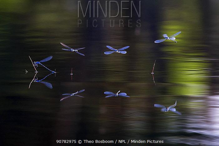 Common blue damselflies (Enallagma cyathigerum) hovering over water,  Hondenven, Tubbergen, Netherlands, July.