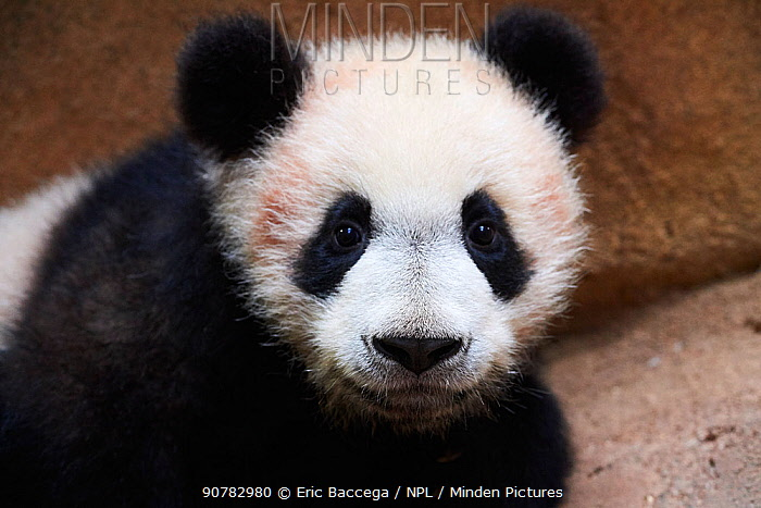 Portrait of Giant panda cub (Ailuropoda melanoleuca) captive. Yuan Meng, first Giant panda ever born in France, now aged 8 months, Beauval Zoo, France