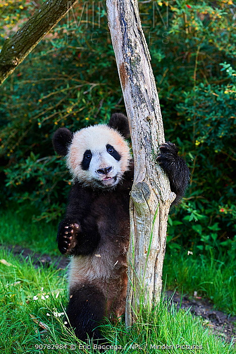 Giant Panda cub (Ailuropoda melanoleuca) climbing.Yuan Meng, first Giant panda even born in France, is now aged 8 months. and likes very much to stay in trees, Beauval Zoo, France