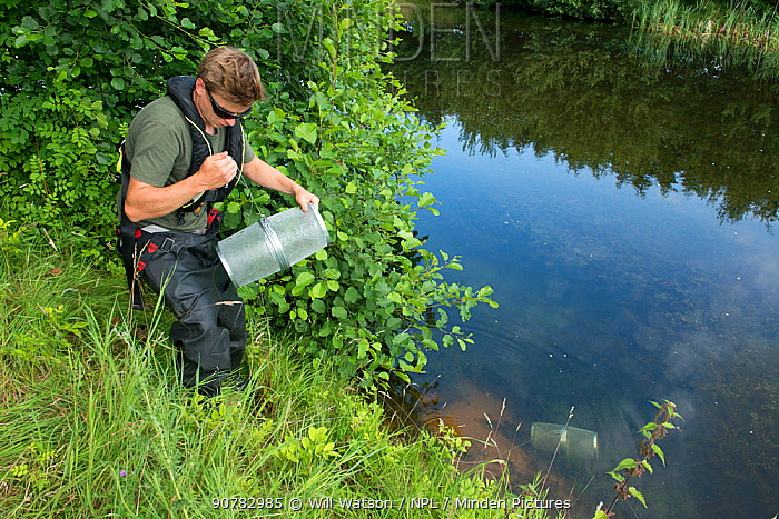 Environment Agency Fisheries Officer releasing Minnow traps from an irrigation pool, during national programme to eradicate Topmouth Gudgeon, Herefordshire, England, UK, July 2017.