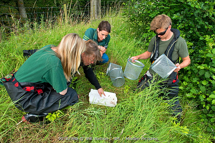Environment Agency Fishery and Biodiversity Officers observing Minnow trap catch from an irrigation pool, during national programme to eradicate Topmouth Gudgeon, Herefordshire, England, UK, July 2017.