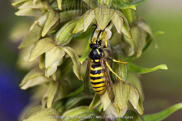 Tree wasp (Dolichovespula sylvestris) male pollinating Broad-leaved Helleborine, Herefordshire, England, UK, July.