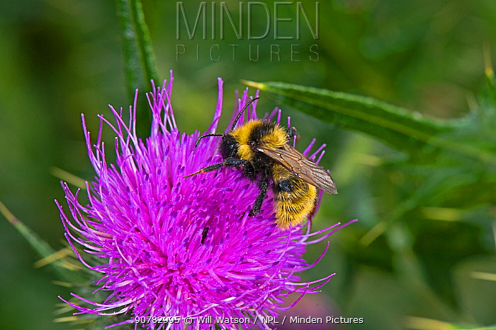 Male Field Cuckoo Bumblebee (Bombus campestris) on Spear Thistle (Cirsium vulgare), Herefordshire Plateau, England, UK, August.