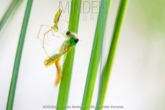 Long jawed orb weaver spider (Tetragnatha extensa) catching  Emerald damselfly (Lestes sponsa) at it emerges from its nymph exoskeleton, Hondenven, Tubbergen, the Netherlands, July.