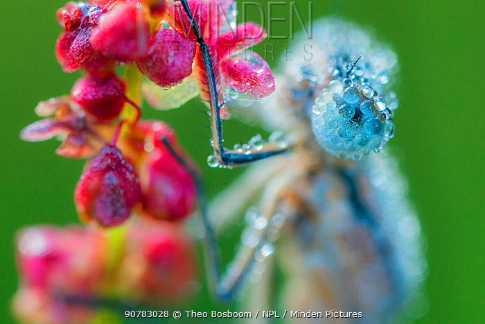 Close-up of Emerald damselfly (lestes sponsa) compound eye, covered in dewdrops, Hatertse vennen, the Netherlands, July.
