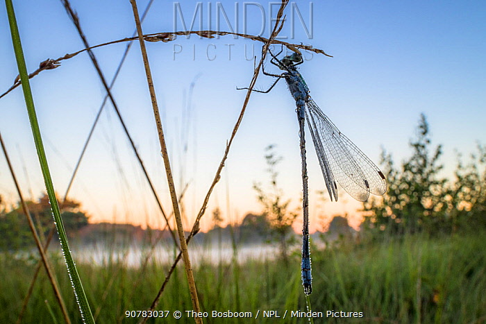 Emerald damselfly (Lestes sponsa)  before sunrise, Hondenven, Tubbergen, the Netherlands, July.