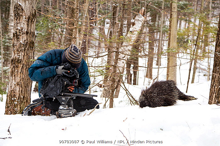 Cameraman filming a North American porcupine (Erethizon dorsatum), Vermont, USA. (Habituated rescued individual returned to the wild)