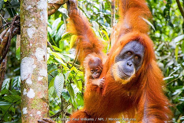 Sumatran Orangutan (Pongo abelii) female with very young baby, Gunung Leuser National Park, Sumatra, Indonesia