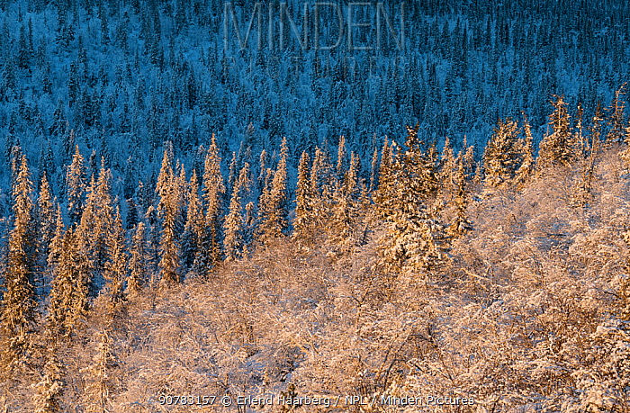 Frost- and snow-covered Norway spruce (Picea abies) forest. Muddus National Park, Laponia World Heritage Site, Swedish Lapland, Sweden.