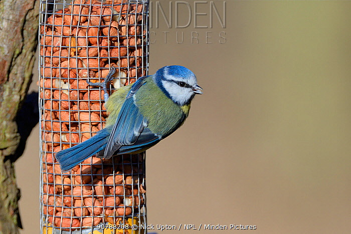 Blue tit (Parus caeruleus) perched on a bird feeder filled with peanuts, Gloucestershire, UK, February.