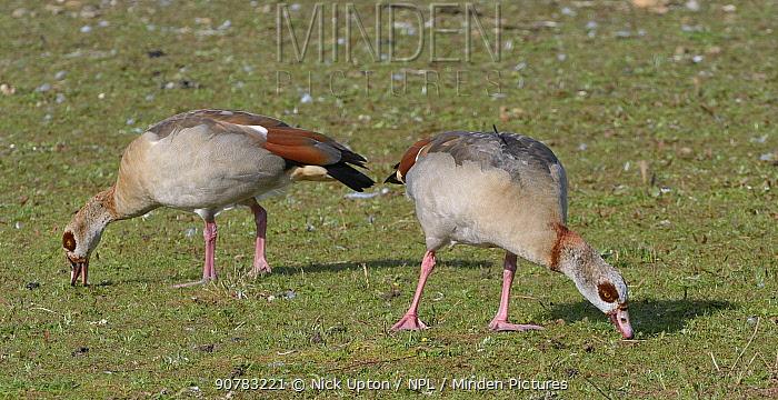 Egyptian goose (Alopochen aegyptiacus) pair grazing grass on the margins of Rutland Water reservoir, Rutland, UK, August.