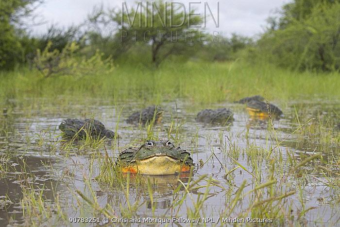 African giant bullfrog (Pyxicephalus adspersus) males calling in water, Central Kalahari Game Reserve, Botswana
